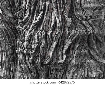 Tree bark with old crack texture and background in black and white