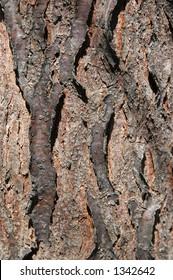 Tree Bark of the Skyline Honey Locust - Gleditsia triacanthos