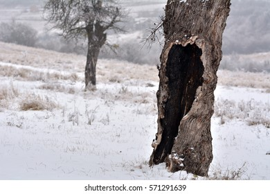 Tree bark in a snowy winter background, old bark texture, solitary concept, old forest. Tree bark hit by lightning. Into the woods. Hollow tree. Tree of life.
