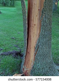 Tree bark is split from trunk and shattered after being struck by lightning. Lightning boils the sap and makes the bark explode.