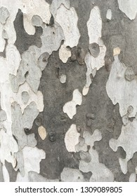 The tree bark surface. The grey color bark texture. The sycamore bark background. Pattern on the cyclamate bark surface.