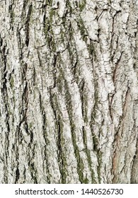Tree bark texture. Background of tree bark. Skin the bark of a tree that traces cracking.