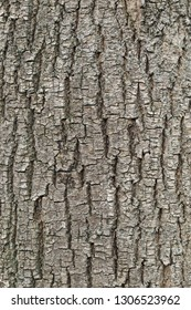Tree bark texture. natural backgrounds, textures - bark of linden tree.  natural backgrounds, textures - bark of the linden tree. Close up view of the bark of an linden tree
