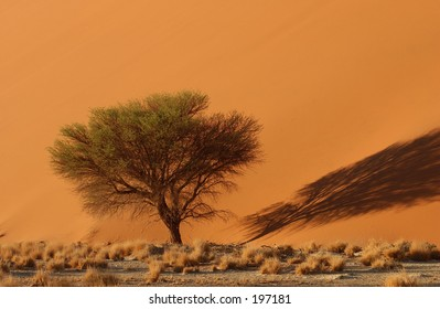 Tree at the base of a sand dune, Namibia, Africa