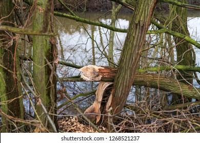 A tree of the beaver likes