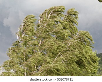 tree bending under heavy storm