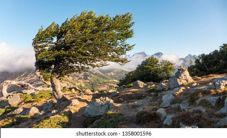 Tree bent by constant wind, Bocca Palmente, GR 20 hiking trek on Corsica, France