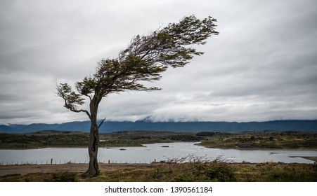 Tree bent by the extreme wind in South Patagonia, Argentina.