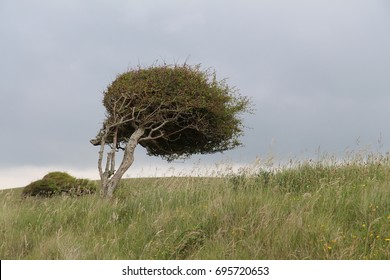a tree bent by strong winds on the ocean coast near Brighton, England, UK, on a cloudy day, July 2017