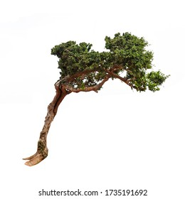 Tree bent by the wind isolated on white background