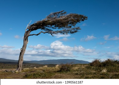 Tree bent by the wind on the coast of the South Patagonia with blue sky.