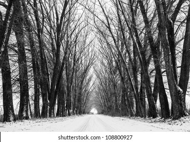 Tree black silhouettes and white snow. Street view through old forest