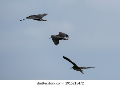 tree black-crowned heron are flying in the blue sky, photo took in Zhuhai city, China.