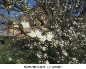 A tree blooming with white flowers. Cherry, apple, plum or sweet cherry in a flowering state. Delicate white petals. Postcard. Congratulations on the day of spring, happy mothers day. Soft focus