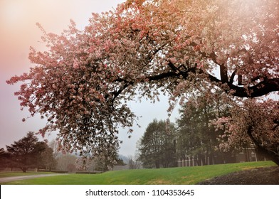 A tree blooms pink and white in the spring.