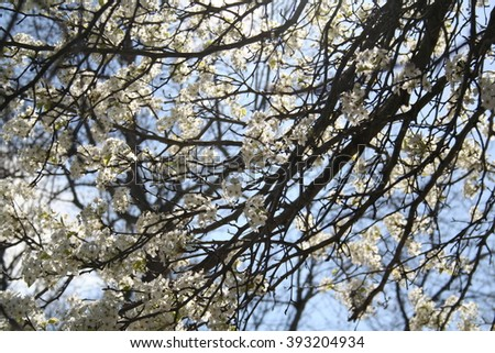 Tree Blooms White Flowers Spring Stock Photo Edit Now 393204934
