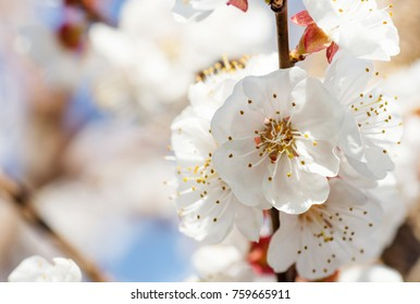 Tree blossom. Apricot tree blossom. Early spring background.