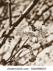 Tree Blossom C, Nature in Sepia Tone, shallow depth of field