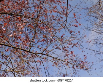 Tree Blossoms Against a Blue Sky.