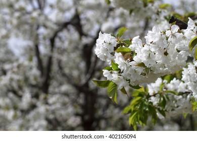 tree blossoms spring cherry tree fruit trees Vignola Modena Italy