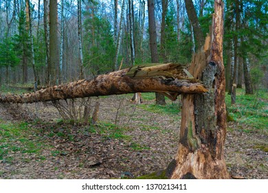A tree blown down by the wind. Fallen pine. Dry fallen tree. The nature of the Russian taiga. Birch and pine. Forest without foliage.Dry fallen tree close up.