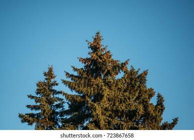 Tree with Blue Background, Evergreen in Europe