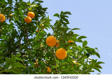 A tree with blue sky and citrus fruits