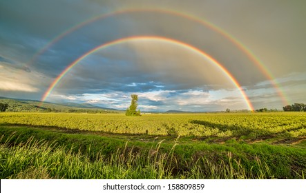 Tree in a blueberry field under a double rainbow