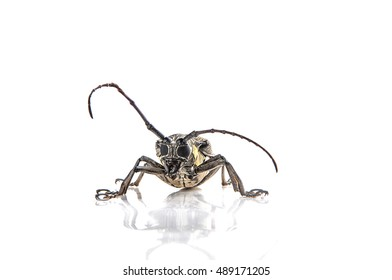 Similar Images, Stock Photos & Vectors of Capricorn beetle