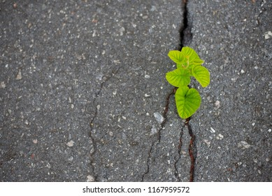 The tree was born and grew from the crevice of the road.