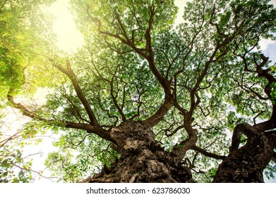 Tree from bottom view. can be use to natural background, wallpaper, template, screensaver. beautiful plant tree.
