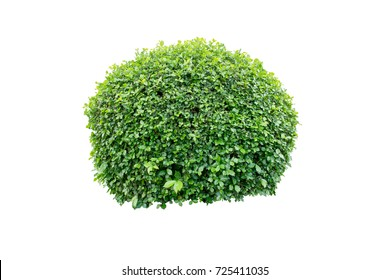 Tree bramble or Decorative shrub on isolated background for Garden decoration or Landscape home design