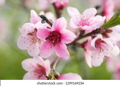 Tree branch in blossom with pink flowers spring background closeup, cherry blossom
