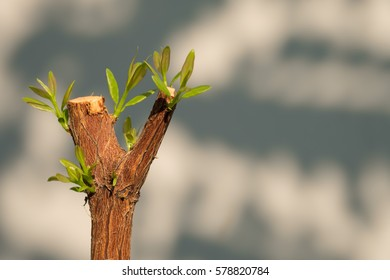 Tree branch with bud, embryonic green leave shoot. gray abstract background.