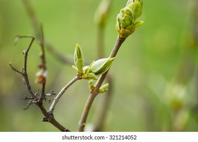 Tree branch with buds. Springtime. Nature background