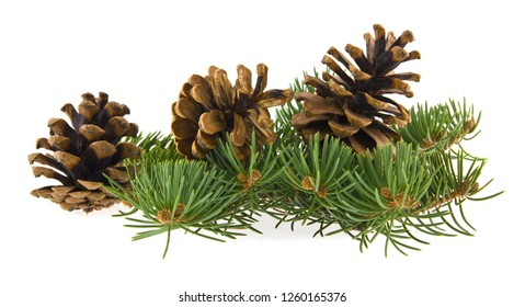 tree branch and cones isolated on white background