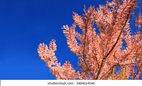 Tree branch in coral color of year 2019 on blue sky background. Unusual vivid blossoming branch in trendy coral color. Tropical coral flowering branch as modern fashion abstract backdrop. Spring bloom