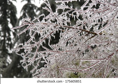 tree branch covered in ice and icicles