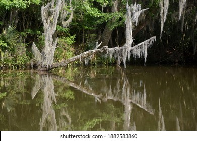 Tree branch covered in Spanish moss over the bayou.