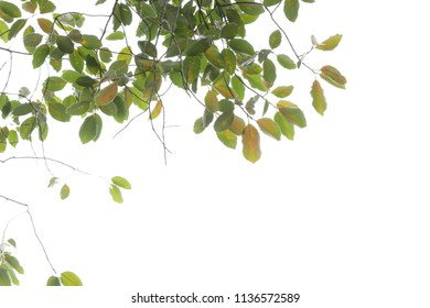 tree branch and green leaf silhouette photography , white backgr