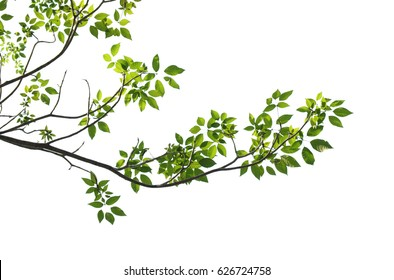 tree branch isolated - Shutterstock ID 626724758