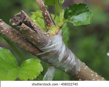 Tree Branch Layer, Tree Grafting,, Tree Branch Joining