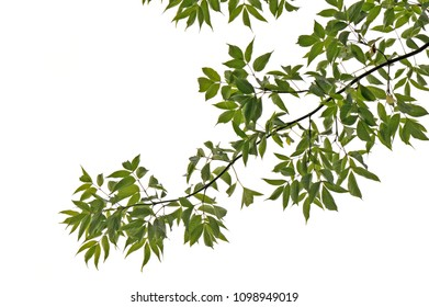 Tree branch and leaves isolated on white background.