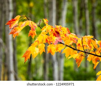 A tree branch of red and orange leaves in the woods.  The leaves are wet from rain.