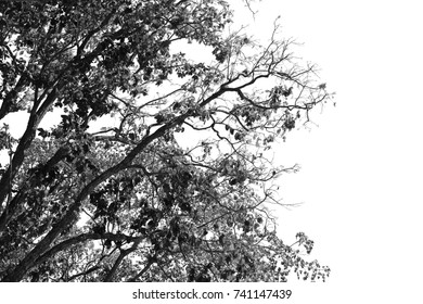 Tree branch silhouette isolated on white background with clipping path.