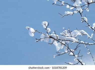 tree branch in snow on blue background