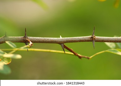 Tree branch with thorns and small leaves. Part of the stem with thorns. Blurred background. October nature. Sunny day. - Shutterstock ID 1841318443
