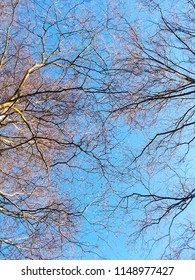 Tree branch and twig from bellow with blue sky background