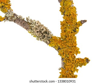 Tree branch with yellow and gray lichen on the bark