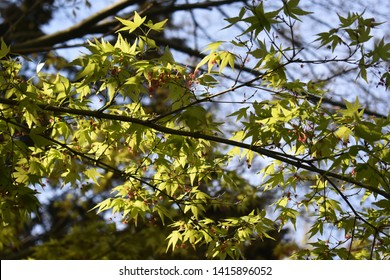 Tree branches of Acer palmatum Sango-Kaku, commonly known as Red Emperor Maple, Palmate Maple, Japanese Maple or smooth Japanese-Maple. Acer palmatum is a deciduous shrub or small tree.